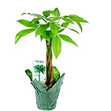 KaBloom Live Plant Collection: Braided Money Tree House Plant (15-18 Inches Tall) in a 4.5-Inch Green covered Pot