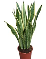 Indoor Plant -House or Office Plant -Sansevaria - Mother in Laws Tongue Variegated- Approx 30cm Tall