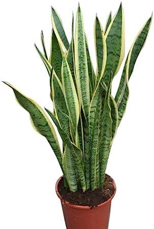 Planta de interior - Planta para la casa o la oficina - Sansevaria ...