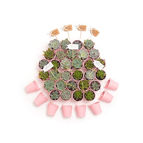 2 in. Wedding Event Rosette Succulents with Pink Metal Pails and Thank You Tags (30) by Succulent Source (Image #2)