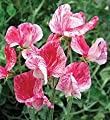 Annual America Sweet Pea Certified 25 Seeds #001 Item UPC#636134972762