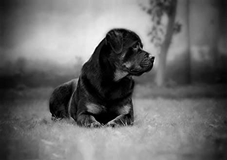 Rottweiler (2) - Amazing poster con cane - Puppy - lovely - migliore ...
