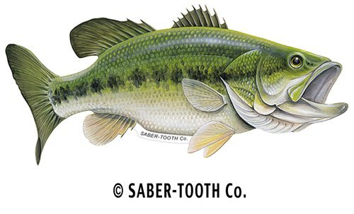 Image gallery largemouth fish for Bass fish pictures
