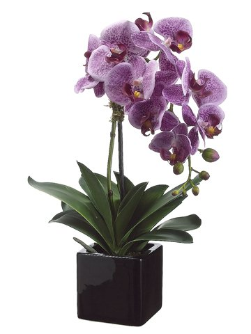 20'' Phalaenopsis Orchid Plant x1 in Ceramic Pot Two Tone Violet (Pack of 4)