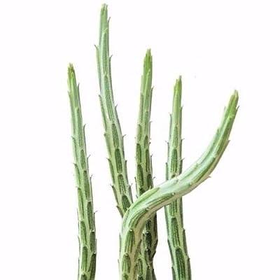 Pickle Plant Kleinia Stapeliiformis (4 inch) : Garden & Outdoor