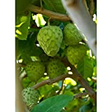 Honeyhart Cherimoya Tropical Fruit Trees 3-4 Feet Height in 3 Gallon Pot #BS1