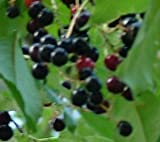 "6-12"" Black Cherry Tree, Sweet Fruit to Enjoy in Years to Come, Fruit Bearing Potted Plant, in dormancy"