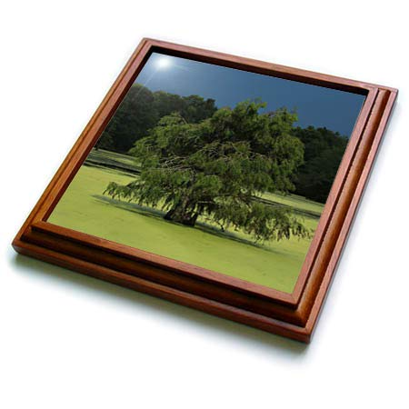 - 3dRose Stamp City - nature - Photo of cypress tree growing in the marsh at Magnolia Plantation. - 8x8 Trivet with 6x6 ceramic tile (trv_295294_1)