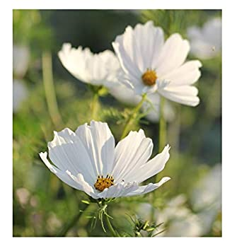 Cosmos Purity Large White Flowers All Summer Seeds Amazon