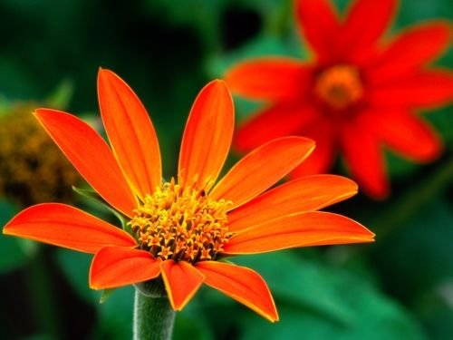 Torch Mexican Sunflower - Sunflower, Mexican Sunflower 'Torch', 150 Seeds! Groco