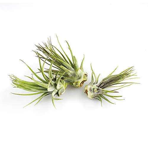 Live Tillandsia 3-4 Air Plant Set of 3 Assorted Large Air Plants - Live Indoor Plants for Terrariums, Hanging Planters, and Home Decor