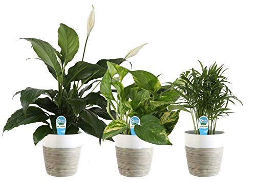 Costa Farms Clean Air 3-Pack O2 for You Live House Plant Collection, White-Natural Decor Planter, Assorted Foliage, 9-Inches Tall (Best Indoor Office Plants)