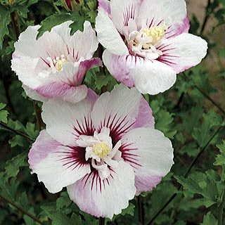 Fiji Rose of Sharon Seeds (Hibiscus Seeds) - 25+ Seeds