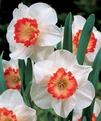Pack 20 Crocus Bulbs /'Fuscotinctus/' WPC Prins Quality Spring Bulbs