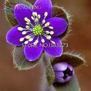 50pcs del arco iris Hepatica Nolilis Semillas hermosas semillas de flor Planta de tiesto del jardín de DIY