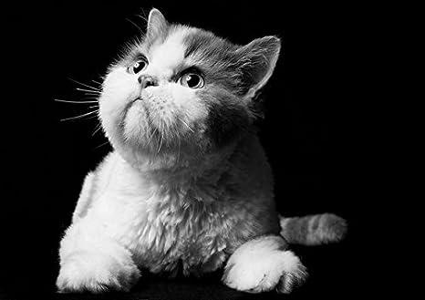 fullfy Manx Gatto - Amazing poster con gatto - migliore qualità ...