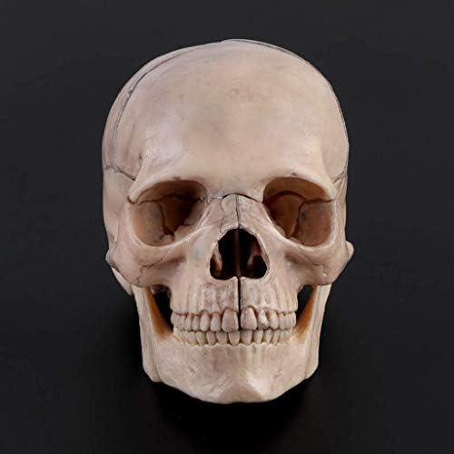 Educatieve Poppen 15 stks/set 4D Gedemonteerd Schedel Anatomisch Model Afneembare Leermiddel