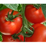 "Big Red Tomato Kit (Bonus free Mini Sunflower Seeds) grows 18"" high indoors or outdoors"