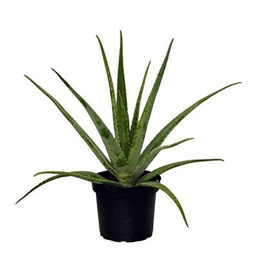 AMERICAN PLANT EXCHANGE Aloe Vera Indoor/Outdoor Air Purifier Live Plant, 6