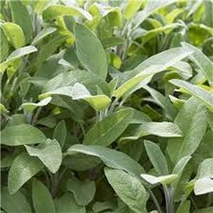 Sage, Broadleaf Sage seeds, Herb, Organic, NON-GMO, 20 seeds per - Sage Broadleaf