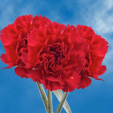 GlobalRose 200 Fresh Cut Burgundy Carnations - Romance Carnations - Fresh Flowers Wholesale Express Delivery by GlobalRose (Image #4)