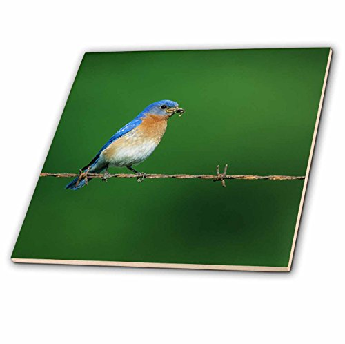 3drose-danita-delimont-bluebird-eastern-bluebird-male-on-barbed-wire-fence-with-food-illinois-12-inc
