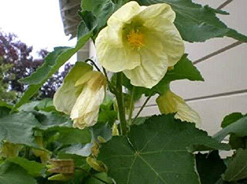 300 Flowering Maple Tree Shrub Chinese Bell Flower Seeds - Bell Flower Chinese