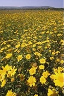 "500 Corn Marrigold seeds /""Chrysanthemum segetum/"""