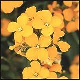 Siberian WallFlower, 400+ Premium Heirloom Seeds, Beautiful/Golden, Fantastic Addition to Your Home Flower Garden! Sale, 95% Germination, (Isla's Garden Seeds) Highest Quality!