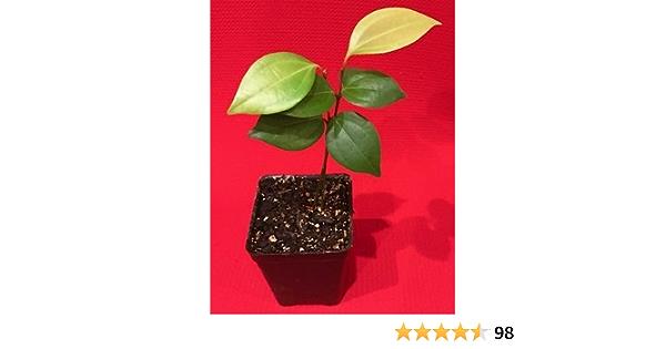 CEYLON CINNAMON Cinnamomum zeylanicum Starter PLANT Potted Tree Spice Tea