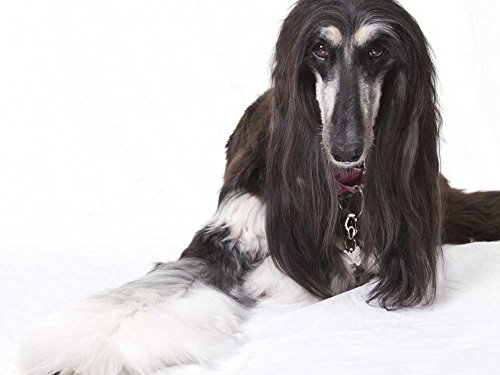 Afghan hound - Art Print on Canvas (32x24 inches, unframed)