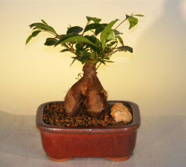 Bonsai Boy's Ginseng Ficus Bonsai Tree - Small Ficus - Ficus Bonsai Tree Retusa