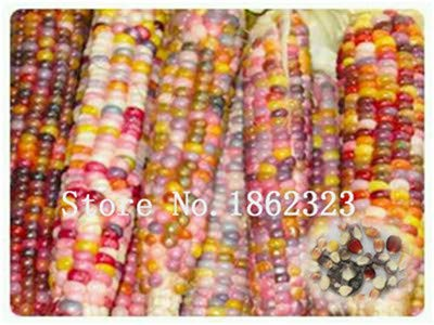 Pinkdose 30 pcs. Sweet Rainbow Corn Bonsai Cereales de Granos de ...