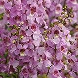 Outsidepride Angelonia Serena Lavender - 15 Seeds