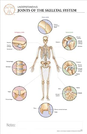 The Skeletal System  Human Skeleton Joints Diagram