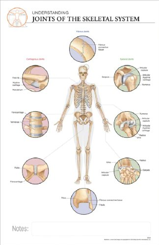 11 x 17 Post-It Anatomical Chart: JOINTS OF THE HUMAN SKELETAL ...