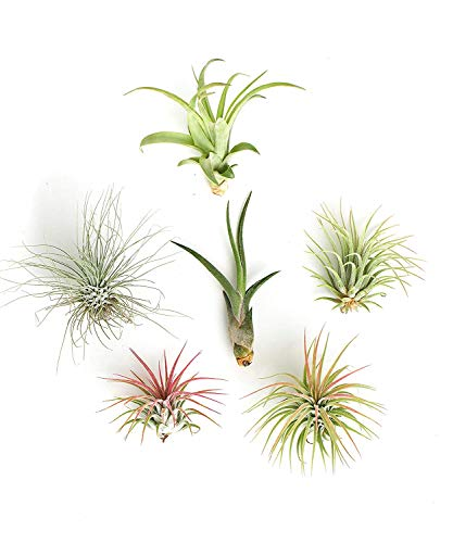 Shop Succulents | Live Air Plants Hand Selected