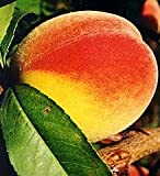 Pack of 1, 5 Lbs. Fragrance Oil Georgia Peach Scent, Phthalate Free