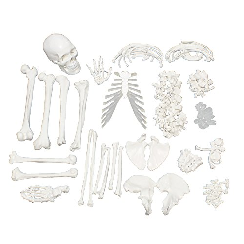 MonMed Medical Skeleton Model - Life Size Skeleton Disarticulated Human Skeleton Model for Anatomy Art Halloween - Human Skeleton Disarticulated