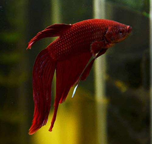 Live Aquarium Betta Fish Assorted Color Red Blue or More! Ready to Add in Plants Tank