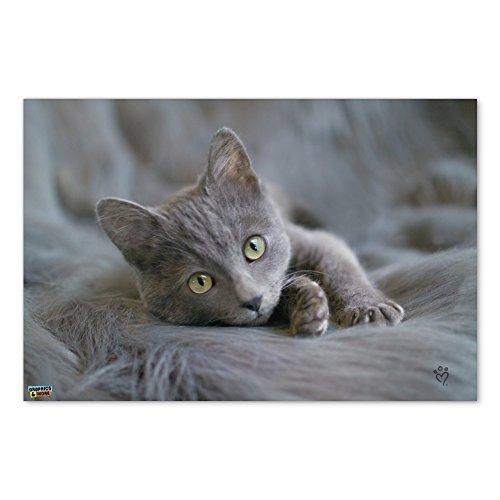 Gray Domestic Shorthair Kitten Cat Fur Home Business Office