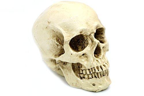 DESERT FOX Skeleton Skull Realistic Life Size Human Anatomy Resin replica Halloween Decor