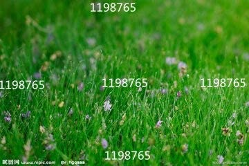 Evergreen Perennial Plant Seeds 200 Pcs Lawn Grass Seeds Lawn Seed
