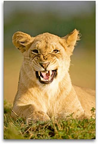 CALVENDO Premium Textil-Leinwand 80 cm x 120 cm de Altura, Malos humores? Cuadro de Pared con diseño de león enfadado, Imagen prefabricada en auténtica Reserva de Mara, Kenia, África Animales