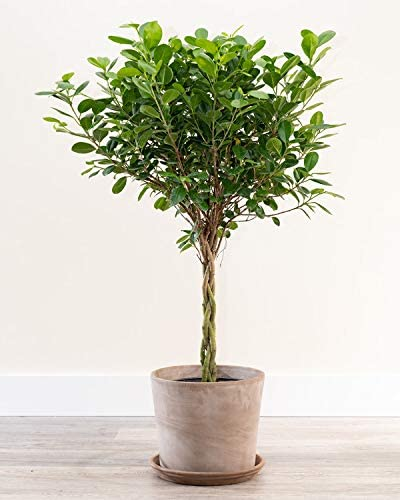 Amazon Com Plantvine Ficus Benjamina Danielle Ficus Daniella Ficus Moclame Large Braided 8 10 Inch Pot 3 Gallon Live Indoor Plant Garden Outdoor