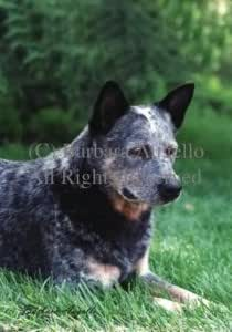 Australian Cattle Dog Flag 28 x 40 inches