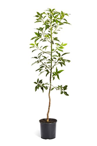Cold Hardy Avocado Tree - (Mexicola Grande) - Get Delicious Avocados Year Round from This Fruit Tree by Brighter Blooms Nursery - 4-5 ft. | Cannot Ship to AZ