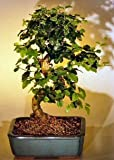 Bonsai Boy's Flowering Ligustrum Bonsai Tree with Curved Trunk-Medium ligustrum lucidum