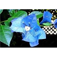 Azul profundo: 50 piezas/bolsa Raras semillas de buganvillas, semillas en macetas, semillas de flores, variedad completa…