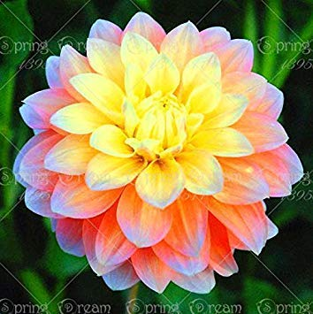 simboliza Valor y Lucky la Dalia la Flor de los bulbos no Semillas Casa Planta-2 Jard/ín 2 Bombillas de la Dalia Potseed Los Verdaderos Bulbos de la Dalia